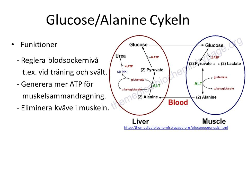 Glucose/Alanine Cykeln http://themedicalbiochemistrypage.org/gluconeogenesis.html Funktioner - Reglera blodsockernivå t.ex. vid träning och svält. - G
