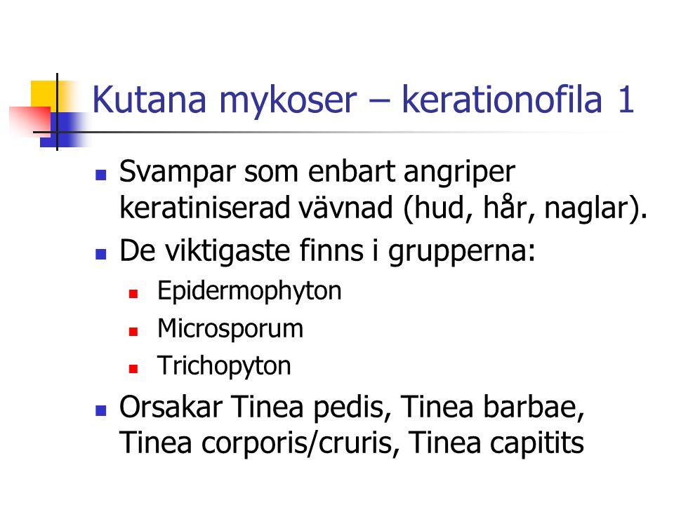 Kutana mykoser – kerationofila 1 Svampar som enbart angriper keratiniserad vävnad (hud, hår, naglar). De viktigaste finns i grupperna: Epidermophyton