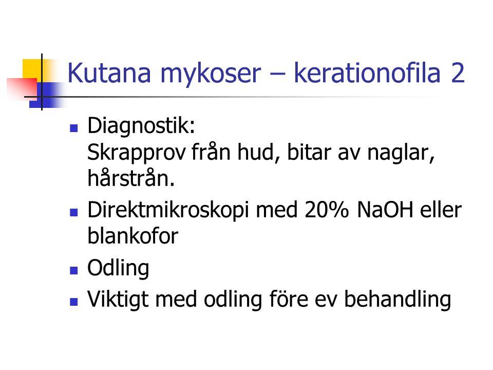 Kutana mykoser – kerationofila 2 Diagnostik: Skrapprov från hud, bitar av naglar, hårstrån. Direktmikroskopi med 20% NaOH eller blankofor Odling Vikti