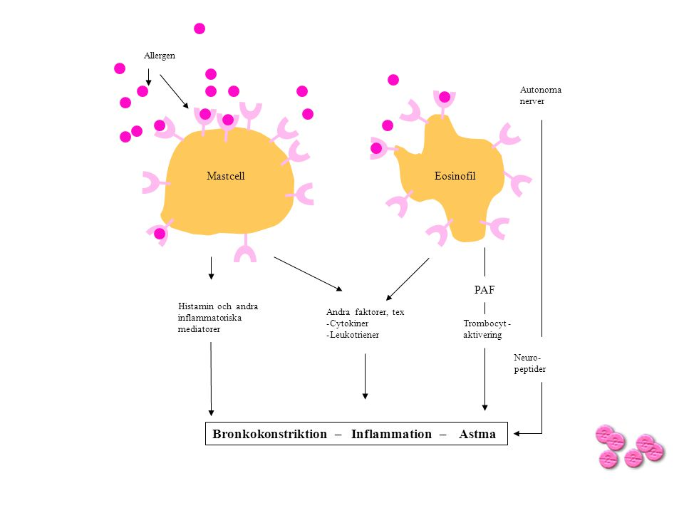 Autonoma nerver Allergen Histamin och andra inflammatoriska mediatorer Andra faktorer, tex -Cytokiner -Leukotriener Bronkokonstriktion – Inflammation