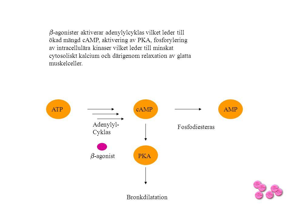  -agonist cAMPATPAMP Fosfodiesteras Adenylyl- Cyklas  -agonister aktiverar adenylylcyklas vilket leder till ökad mängd cAMP, aktivering av PKA, fosf
