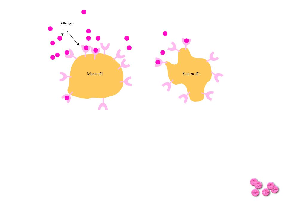 Allergen Histamin och andra inflammatoriska mediatorer Andra faktorer, tex -Cytokiner -Leukotriener MastcellEosinofil