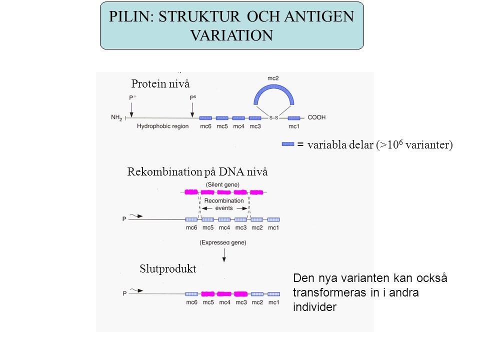 PILIN: STRUKTUR OCH ANTIGEN VARIATION Protein nivå Rekombination på DNA nivå = variabla delar (>10 6 varianter) Slutprodukt Den nya varianten kan också transformeras in i andra individer