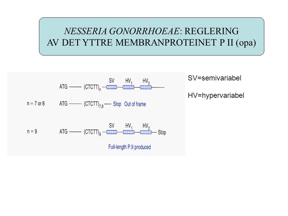 NESSERIA GONORRHOEAE: REGLERING AV DET YTTRE MEMBRANPROTEINET P II (opa) SV=semivariabel HV=hypervariabel