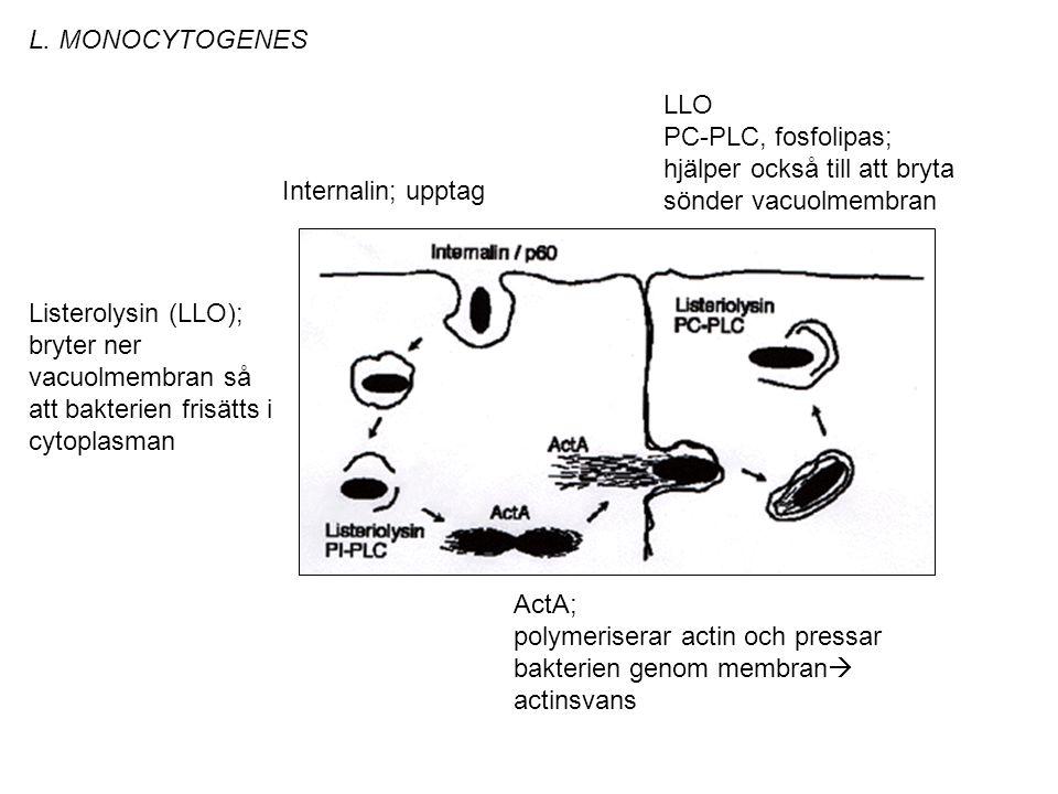 Internalin; upptag Listerolysin (LLO); bryter ner vacuolmembran så att bakterien frisätts i cytoplasman ActA; polymeriserar actin och pressar bakterien genom membran  actinsvans LLO PC-PLC, fosfolipas; hjälper också till att bryta sönder vacuolmembran L.