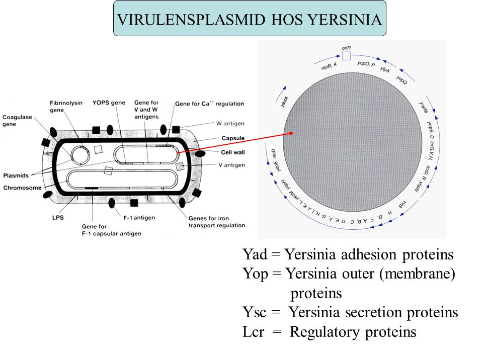 VIRULENSPLASMID HOS YERSINIA Yad = Yersinia adhesion proteins Yop = Yersinia outer (membrane) proteins Ysc = Yersinia secretion proteins Lcr = Regulat