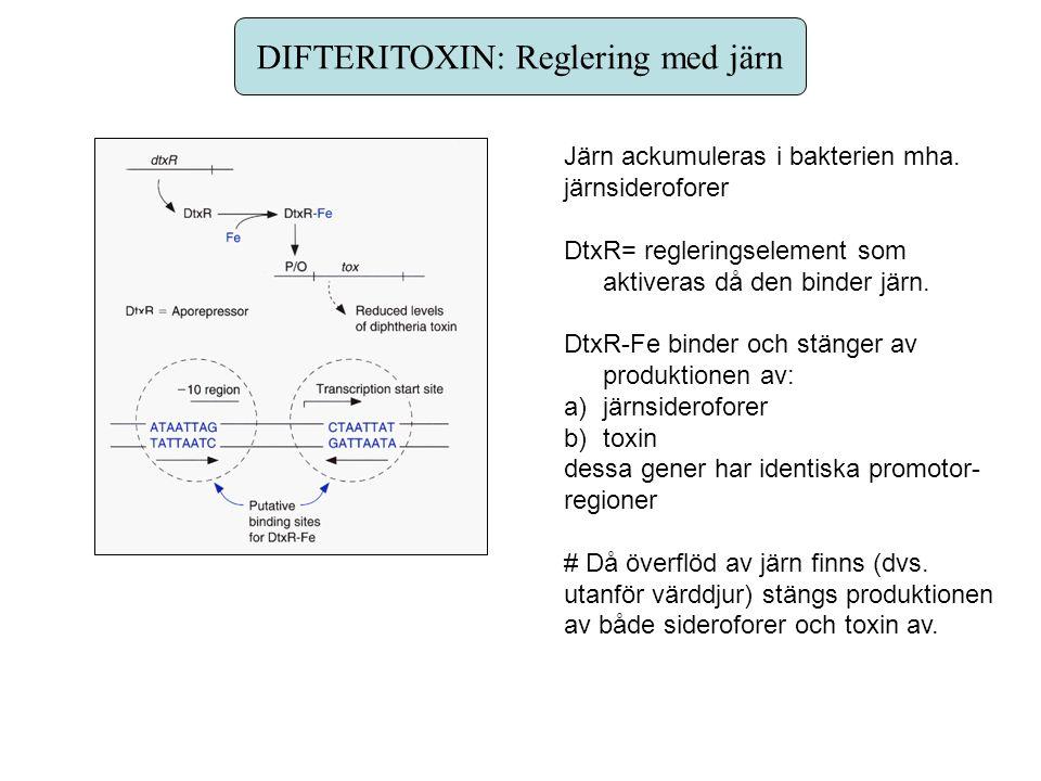 DIFTERITOXIN: Reglering med järn Järn ackumuleras i bakterien mha. järnsideroforer DtxR= regleringselement som aktiveras då den binder järn. DtxR-Fe b
