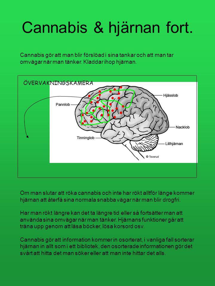 Cannabis & hjärnan Frontalloben/pannloben är den del i hjärnan som har koll över oss själva, vår övervakningskamera! Den har koll på vad vi gör. Om vi