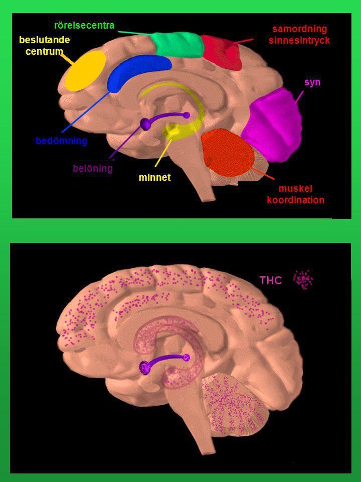 Om man slutar att röka cannabis och inte har rökt alltför länge kommer hjärnan att återfå sina normala snabba vägar när man blir drogfri. Har man rökt
