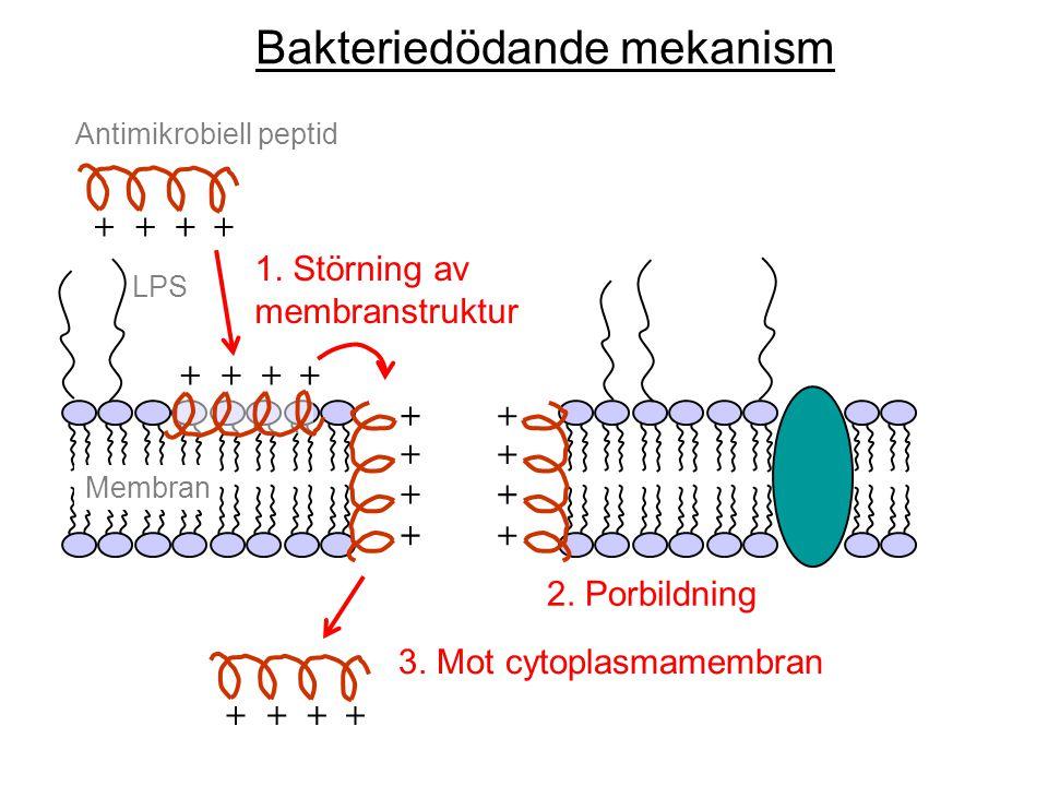 ++++ Antimikrobiell peptid + + + + + + + + ++++ ++++ Membran LPS 1. Störning av membranstruktur 2. Porbildning 3. Mot cytoplasmamembran Bakteriedödand