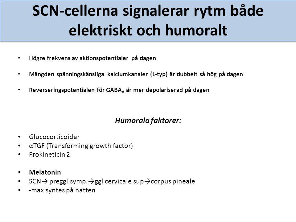 SCN-cellerna signalerar rytm både elektriskt och humoralt Högre frekvens av aktionspotentialer på dagen Mängden spänningskänsliga kalciumkanaler (L-ty