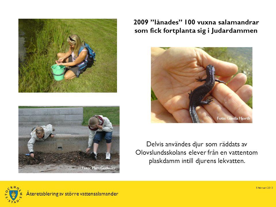 5 februari 2013 Återetablering av större vattensalamander Delvis användes djur som räddats av Olovslundsskolans elever från en vattentom plaskdamm intill djurens lekvatten.