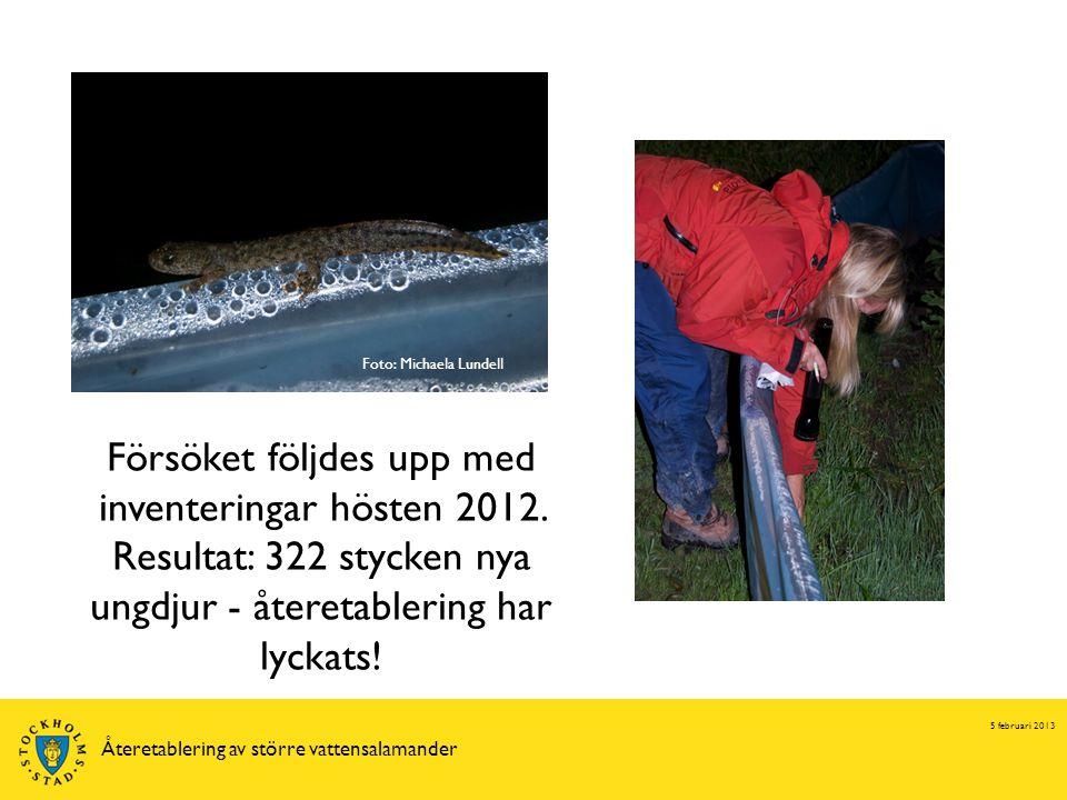 5 februari 2013 Återetablering av större vattensalamander Försöket följdes upp med inventeringar hösten 2012. Resultat: 322 stycken nya ungdjur - åter