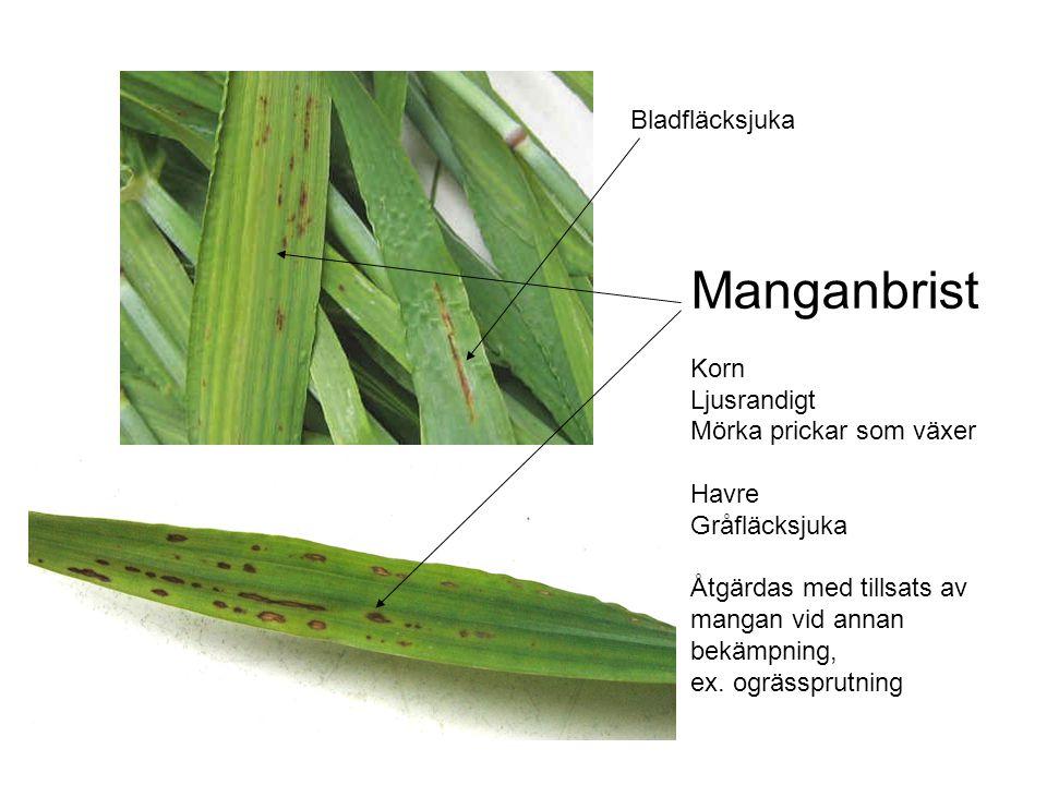 Manganbrist Korn Ljusrandigt Mörka prickar som växer Havre Gråfläcksjuka Åtgärdas med tillsats av mangan vid annan bekämpning, ex.