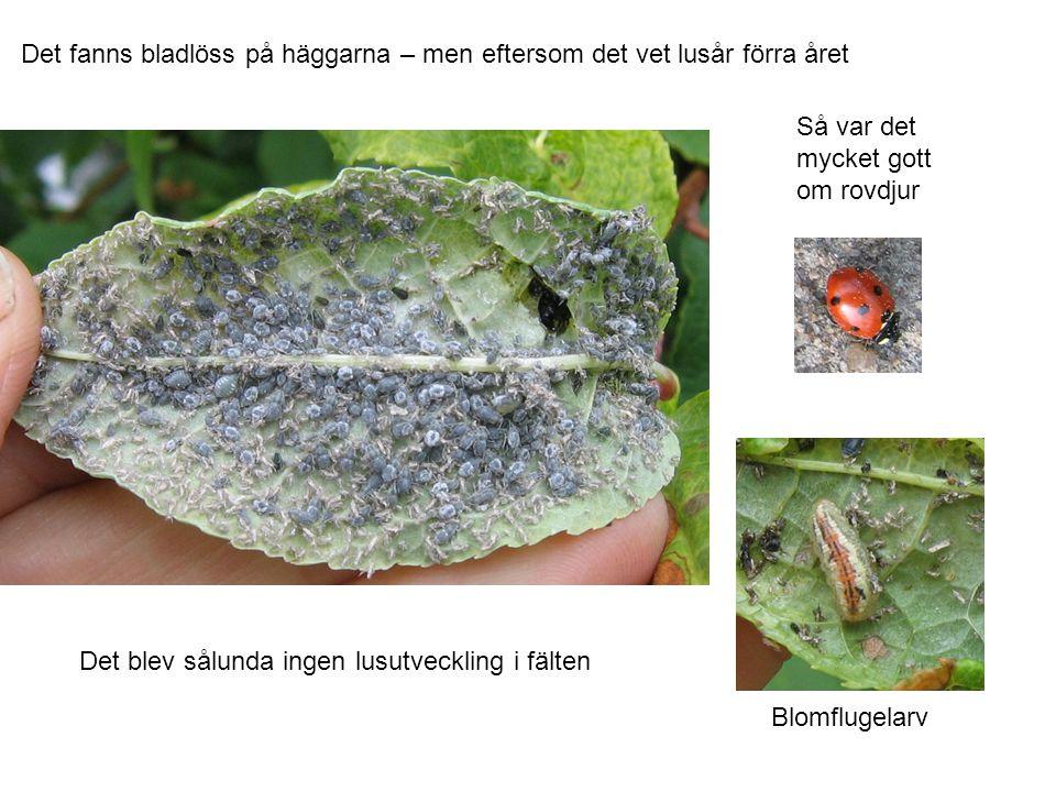 Det fanns bladlöss på häggarna – men eftersom det vet lusår förra året Så var det mycket gott om rovdjur Blomflugelarv Det blev sålunda ingen lusutveckling i fälten