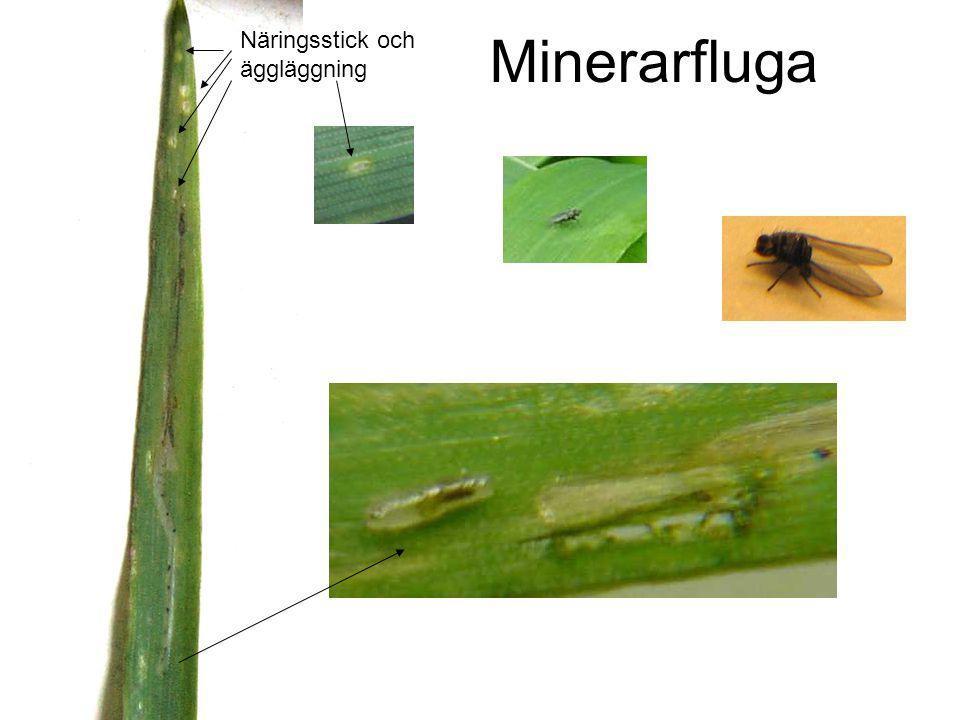 Minerarfluga Näringsstick och äggläggning