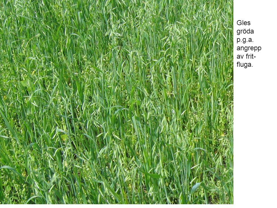 Gles gröda p.g.a. angrepp av frit- fluga.