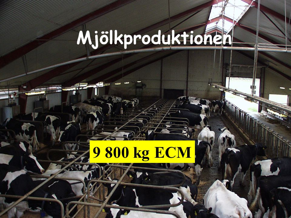 Mjölkproduktionen 9 800 kg ECM