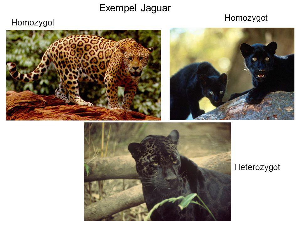 Homozygot Heterozygot Exempel Jaguar