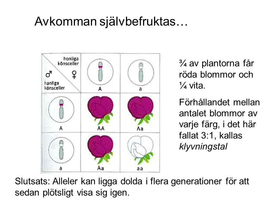 Avkomman självbefruktas… ¾ av plantorna får röda blommor och ¼ vita. Förhållandet mellan antalet blommor av varje färg, i det här fallat 3:1, kallas k