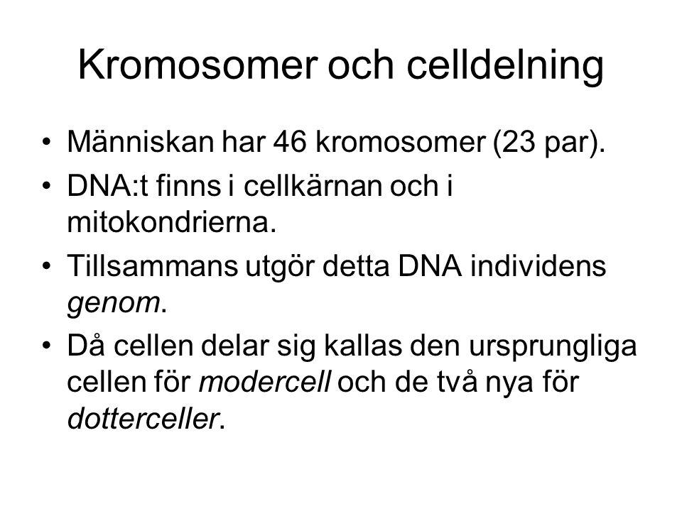 Kromosomer och celldelning Människan har 46 kromosomer (23 par). DNA:t finns i cellkärnan och i mitokondrierna. Tillsammans utgör detta DNA individens