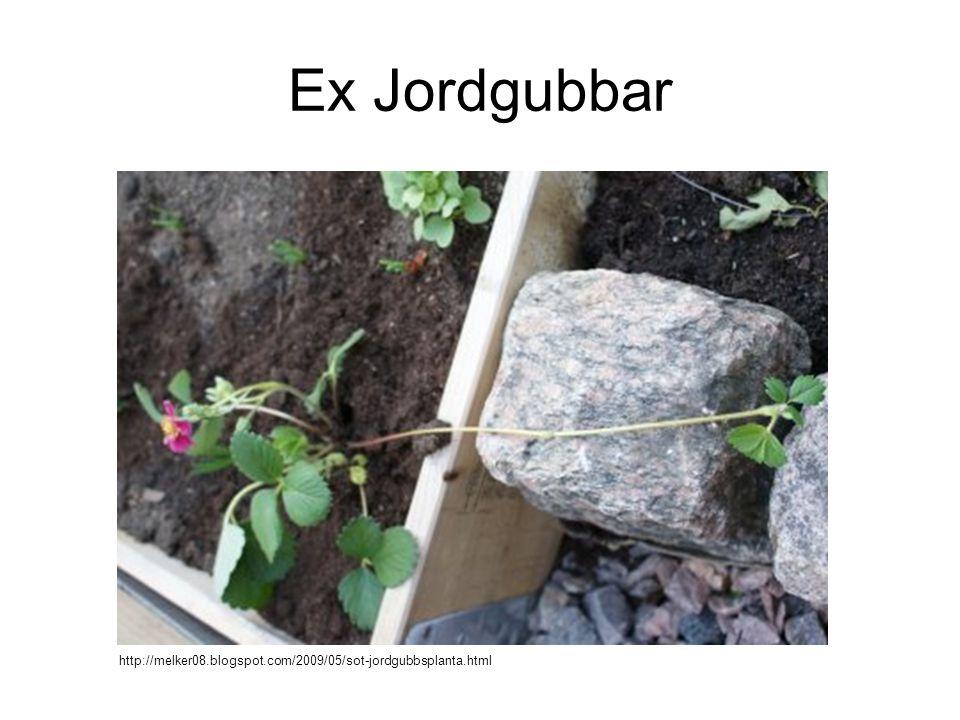 Ex Jordgubbar http://melker08.blogspot.com/2009/05/sot-jordgubbsplanta.html
