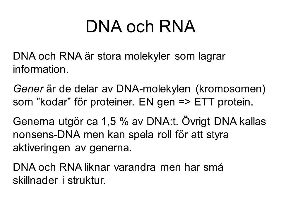 """DNA och RNA DNA och RNA är stora molekyler som lagrar information. Gener är de delar av DNA-molekylen (kromosomen) som """"kodar"""" för proteiner. EN gen ="""