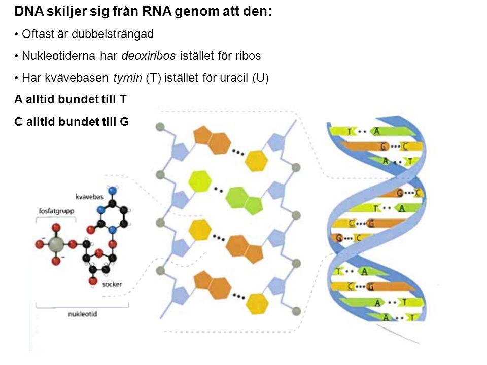 DNA skiljer sig från RNA genom att den: Oftast är dubbelsträngad Nukleotiderna har deoxiribos istället för ribos Har kvävebasen tymin (T) istället för