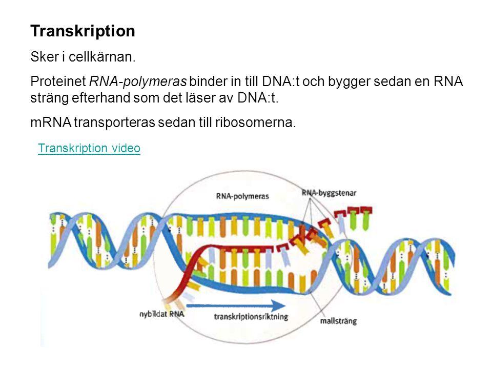 Transkription Sker i cellkärnan. Proteinet RNA-polymeras binder in till DNA:t och bygger sedan en RNA sträng efterhand som det läser av DNA:t. mRNA tr