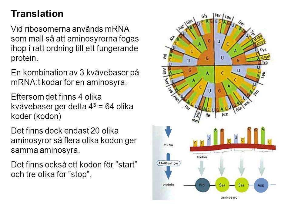 Translation Vid ribosomerna används mRNA som mall så att aminosyrorna fogas ihop i rätt ordning till ett fungerande protein. En kombination av 3 kväve