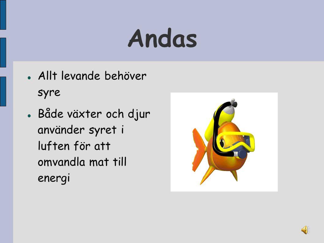 Andas Allt levande behöver syre Både växter och djur använder syret i luften för att omvandla mat till energi