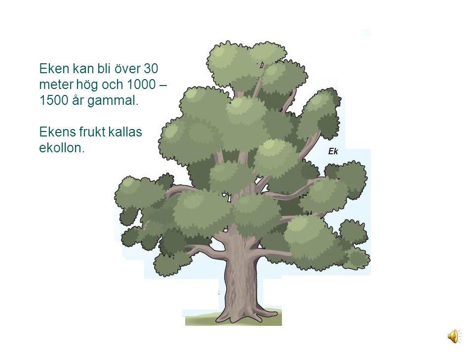 Eken Eken kan bli över 30 meter hög och 1000 – 1500 år gammal. Ekens frukt kallas ekollon.