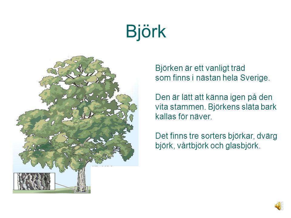 Björk Björken är ett vanligt träd som finns i nästan hela Sverige.