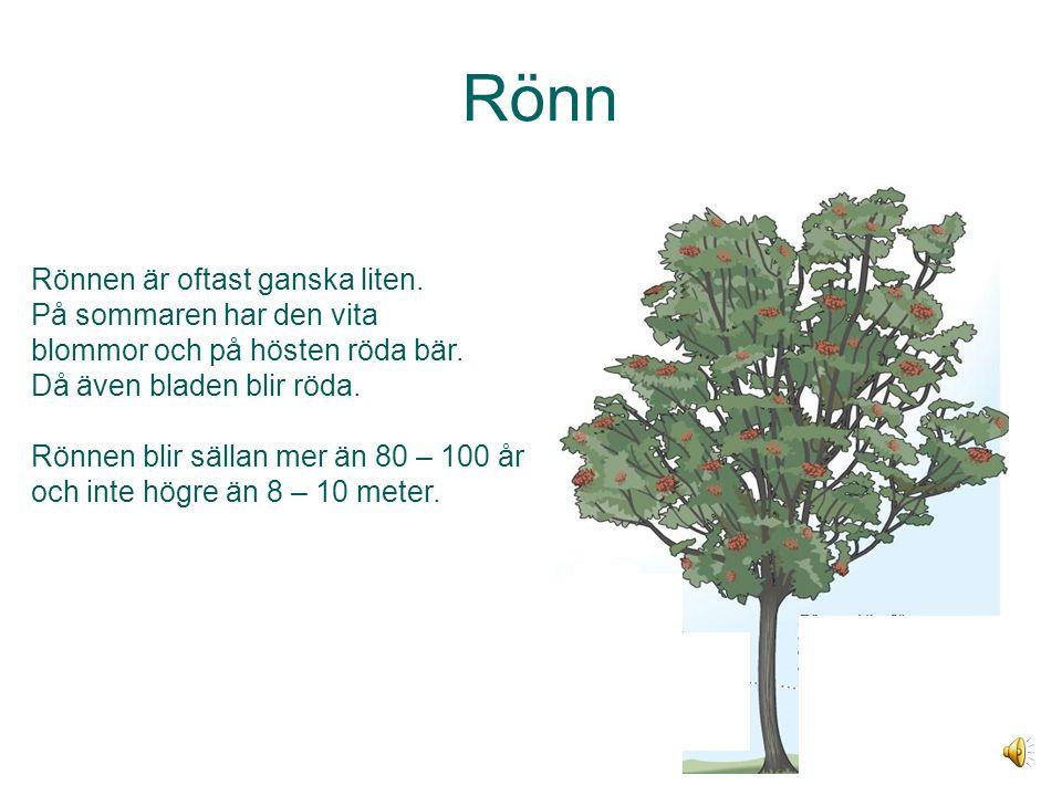 Rönn Rönnen är oftast ganska liten.På sommaren har den vita blommor och på hösten röda bär.