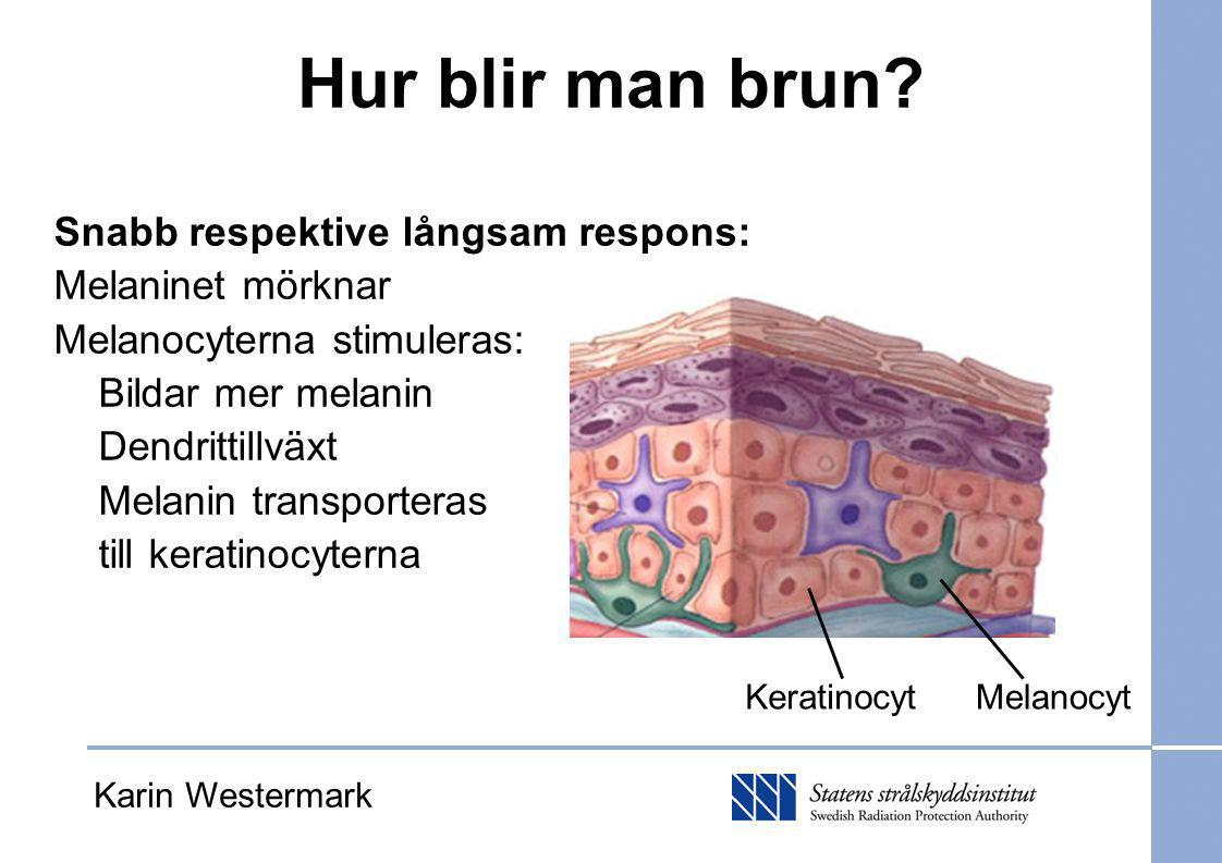 Hur blir man brun? Snabb respektive långsam respons: Melaninet mörknar Melanocyterna stimuleras: Bildar mer melanin Dendrittillväxt Melanin transporte