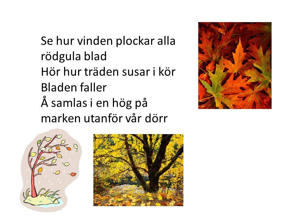 Se hur vinden plockar alla rödgula blad Hör hur träden susar i kör Bladen faller Å samlas i en hög på marken utanför vår dörr