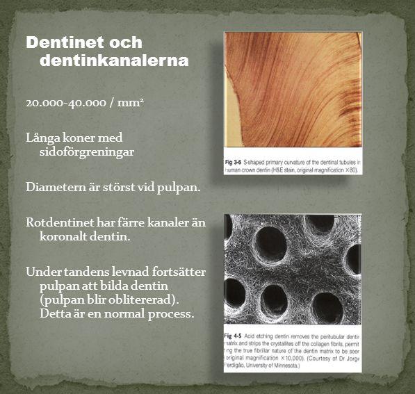 Dentinet och dentinkanalerna 20.000-40.000 / mm 2 Långa koner med sidoförgreningar Diametern är störst vid pulpan. Rotdentinet har färre kanaler än ko