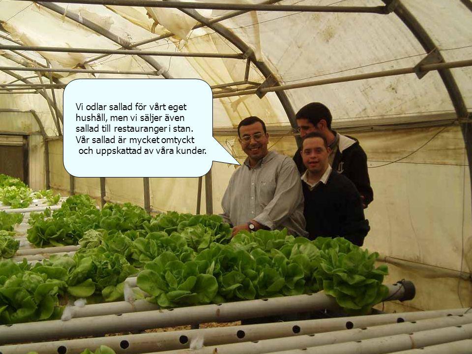 Vi odlar sallad för vårt eget hushåll, men vi säljer även sallad till restauranger i stan.