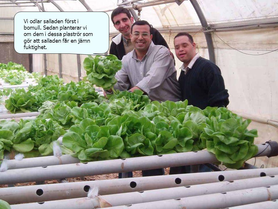 Vi odlar salladen först i bomull.