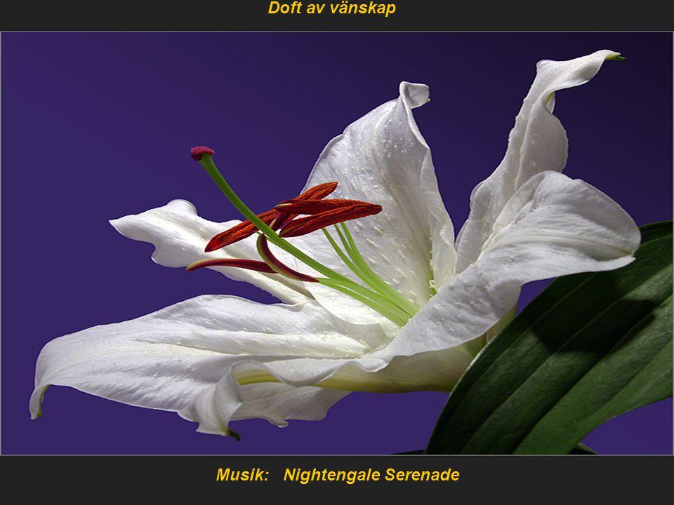 Musik: Nightengale Serenade Doft av vänskap