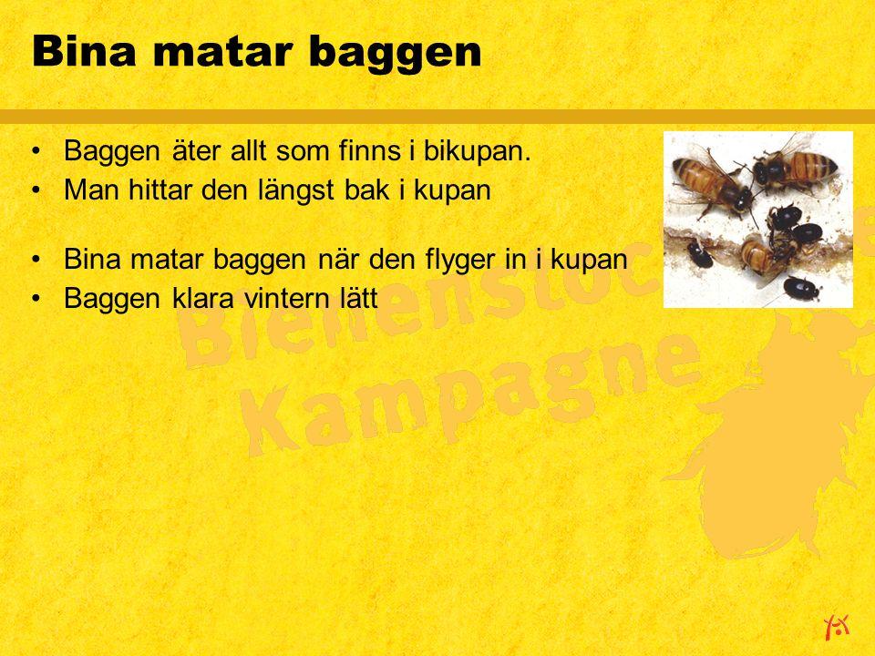 Bina matar baggen Baggen äter allt som finns i bikupan.