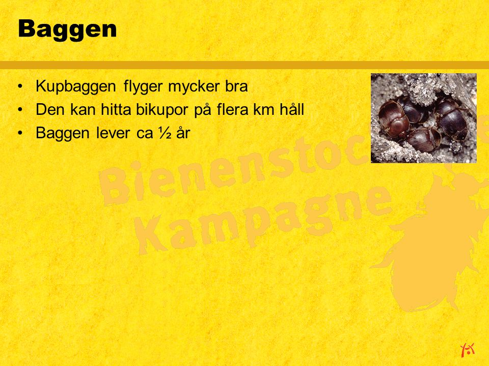 Baggen Kupbaggen flyger mycker bra Den kan hitta bikupor på flera km håll Baggen lever ca ½ år