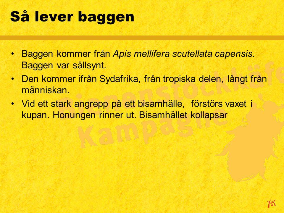 Så lever baggen Baggen kommer från Apis mellifera scutellata capensis. Baggen var sällsynt. Den kommer ifrån Sydafrika, från tropiska delen, långt frå