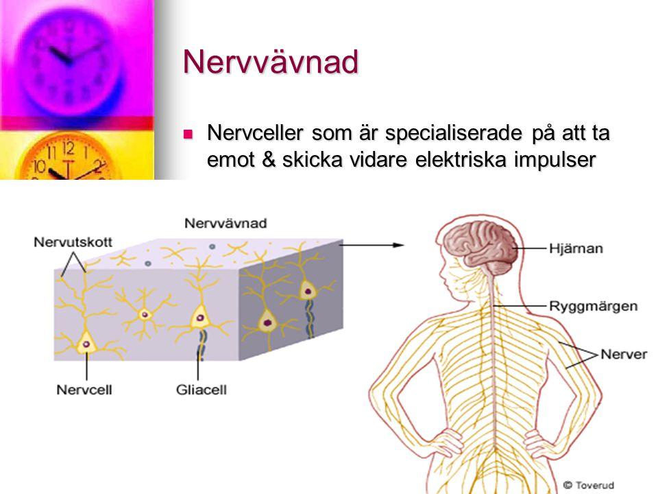 Nervvävnad Nervceller som är specialiserade på att ta emot & skicka vidare elektriska impulser Nervceller som är specialiserade på att ta emot & skicka vidare elektriska impulser
