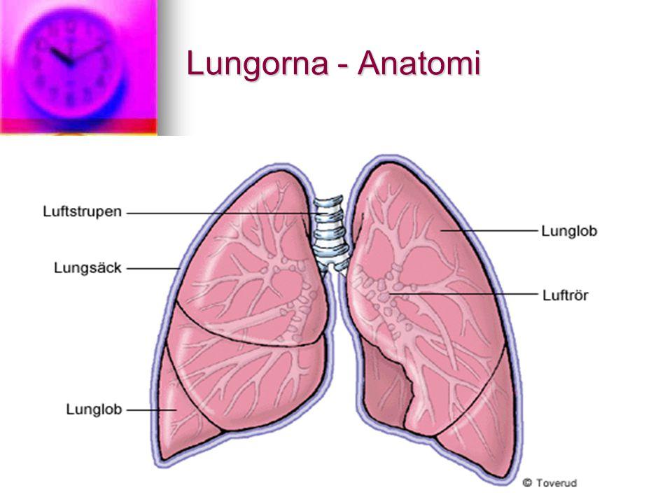 Lungorna - Anatomi