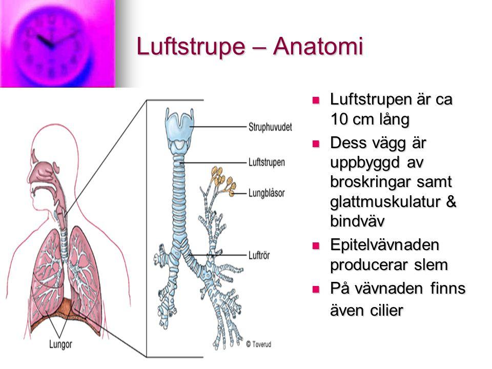 Luftstrupe – Anatomi Luftstrupen är ca 10 cm lång Luftstrupen är ca 10 cm lång Dess vägg är uppbyggd av broskringar samt glattmuskulatur & bindväv Dess vägg är uppbyggd av broskringar samt glattmuskulatur & bindväv Epitelvävnaden producerar slem Epitelvävnaden producerar slem På vävnaden finns även cilier På vävnaden finns även cilier