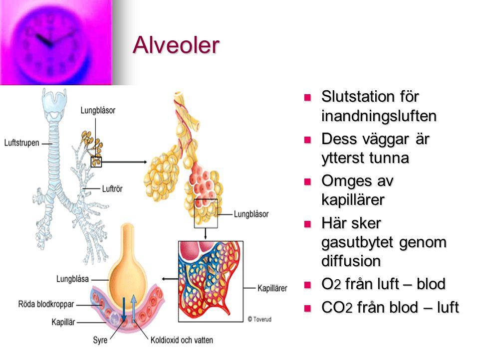 Alveoler Slutstation för inandningsluften Slutstation för inandningsluften Dess väggar är ytterst tunna Dess väggar är ytterst tunna Omges av kapillärer Omges av kapillärer Här sker gasutbytet genom diffusion Här sker gasutbytet genom diffusion O 2 från luft – blod O 2 från luft – blod CO 2 från blod – luft CO 2 från blod – luft