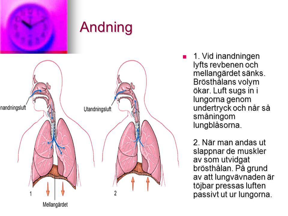 Andning 1. Vid inandningen lyfts revbenen och mellangärdet sänks. Brösthålans volym ökar. Luft sugs in i lungorna genom undertryck och når så småningo