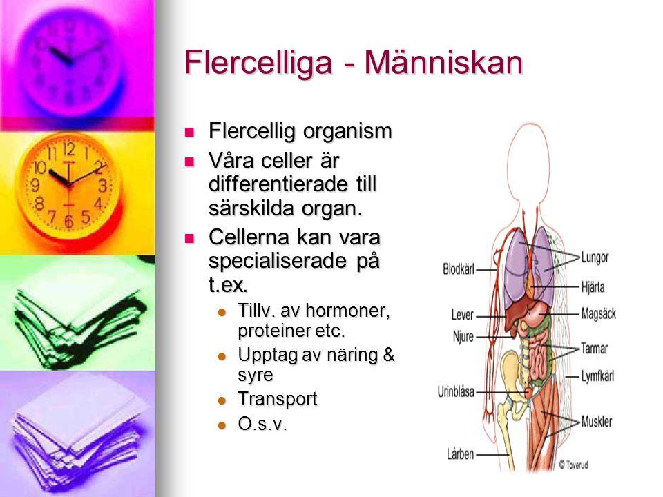 Flercelliga - Människan Flercelliga måste transportera ämnen till cellerna Flercelliga måste transportera ämnen till cellerna Hålla den inre miljön konstant Hålla den inre miljön konstant För mkt salt – törstig För mkt salt – törstig För varmt – svettning För varmt – svettning Matspjälkningskanalen & luftvägarna – upptag av föda & syre Matspjälkningskanalen & luftvägarna – upptag av föda & syre Blodomloppet – transport av näring & syre till cellerna samt avfallsprod.
