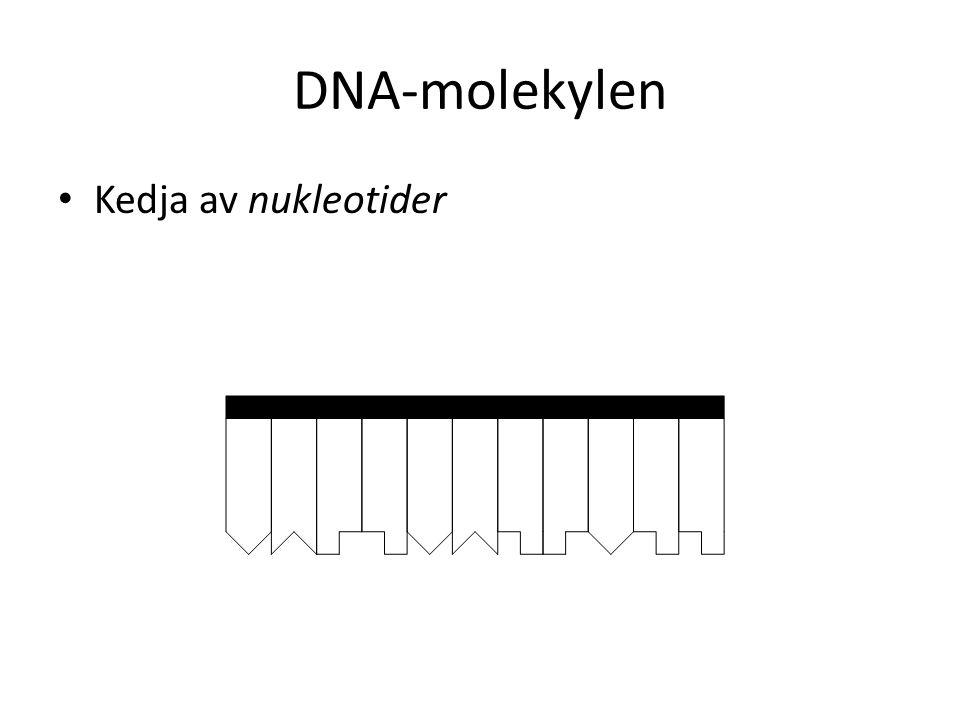 DNA-molekylen Kedja av nukleotider